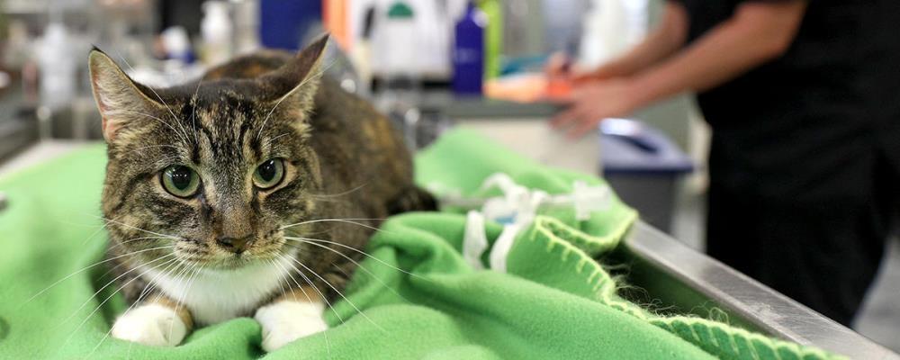 Ветеринар для кошки